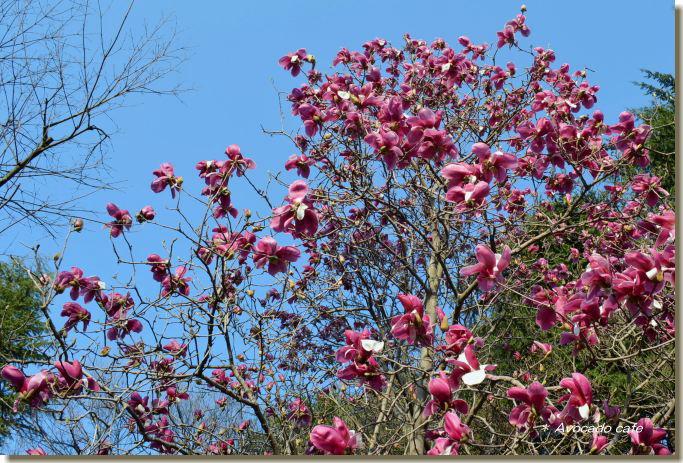 紫木蓮の木1