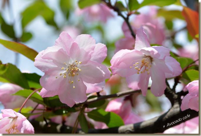 海棠の花3