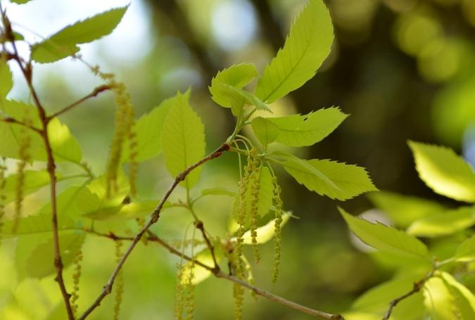 小楢の雄花