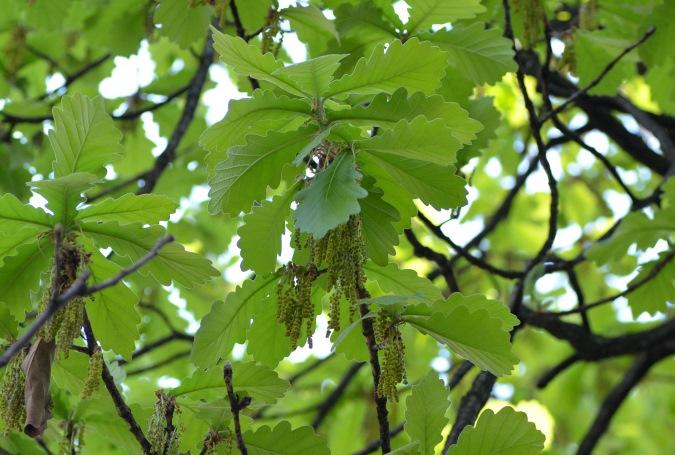 水楢の雄花