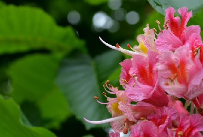 紅花栃の木1
