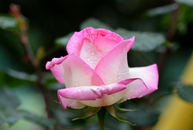 雨後の薔薇2