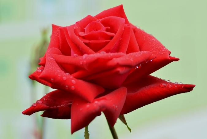 雨後の薔薇3