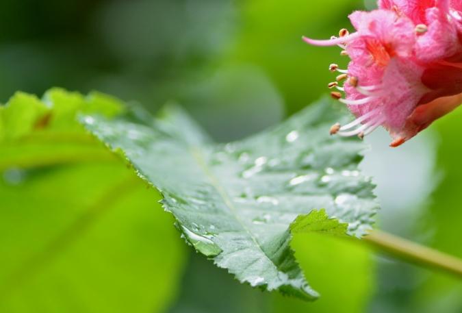 紅花栃の木の葉っぱ