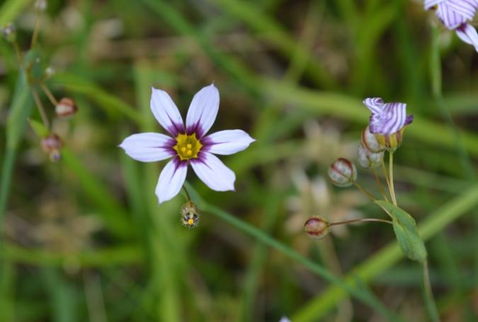 庭石菖の種