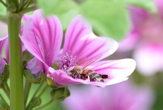 銭葵と蜜蜂