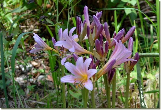 咲き始めの夏水仙