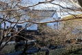 桜の木越の八幡堀・白壁の土蔵-1