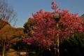 昭和山入口のヨウコウという種類の桜④