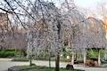 昭和山のしだれ桜⑦