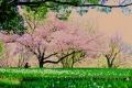 桜の下でチューリップ撮る女性