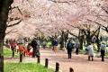 風に吹かれて散る桜