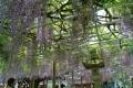 灯籠と藤棚