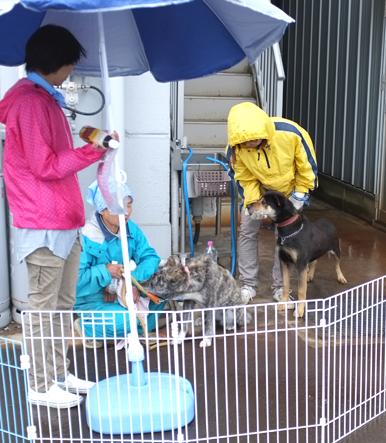ワンコのボスくんとマルちゃんも雨の中アピール