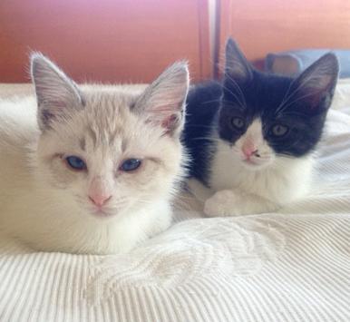 シャムMIXのメルシーちゃん(左)とお兄さんのココくん(右)