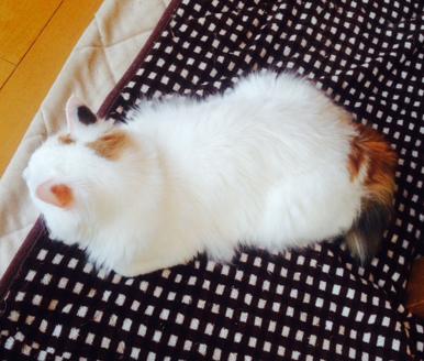 白い部分が多いフワフワ半長毛を撫でられるのが大好き