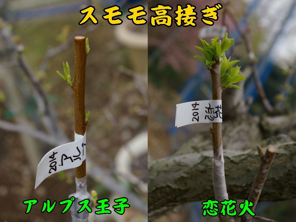 1ALou_koih0320c1.jpg