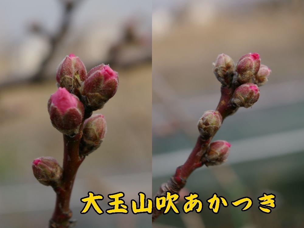 1YOakatuki0319c1.jpg