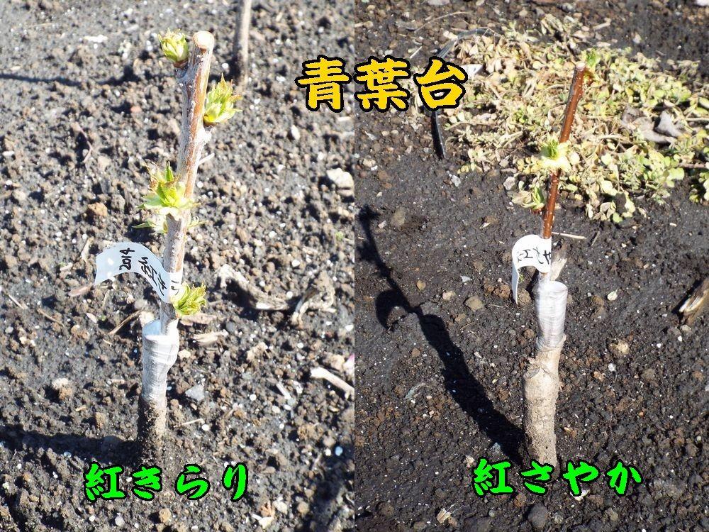 1a_KiraSaya0405c1.jpg