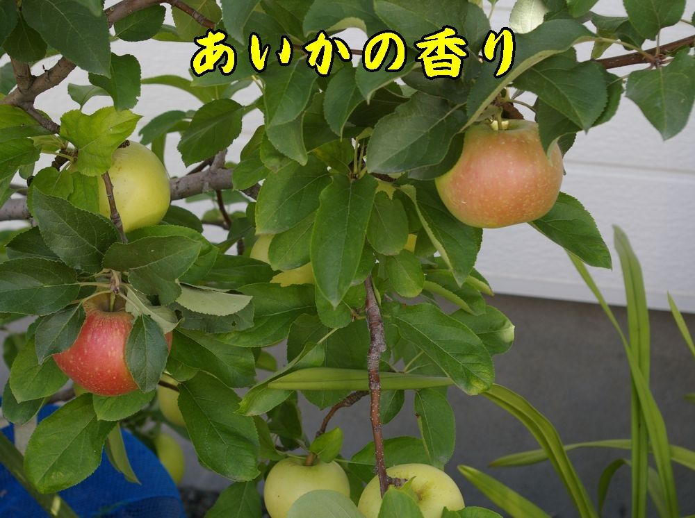 1aikanokaori0903c1.jpg