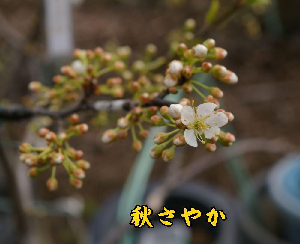 1akisayaka0319c1.jpg