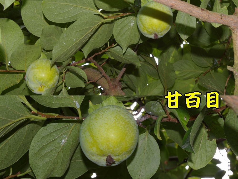1amahyakumoku0906c1.jpg
