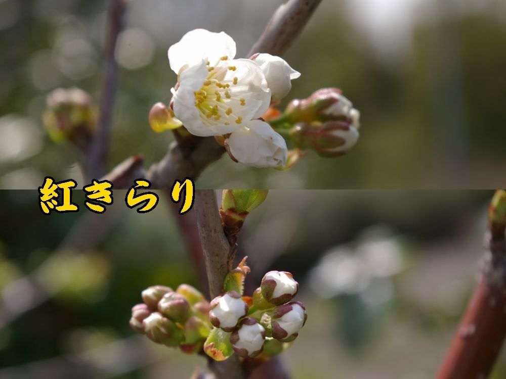 1benikira0411c1.jpg