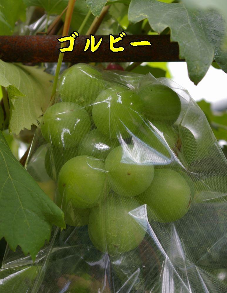 1golube0819c1.jpg