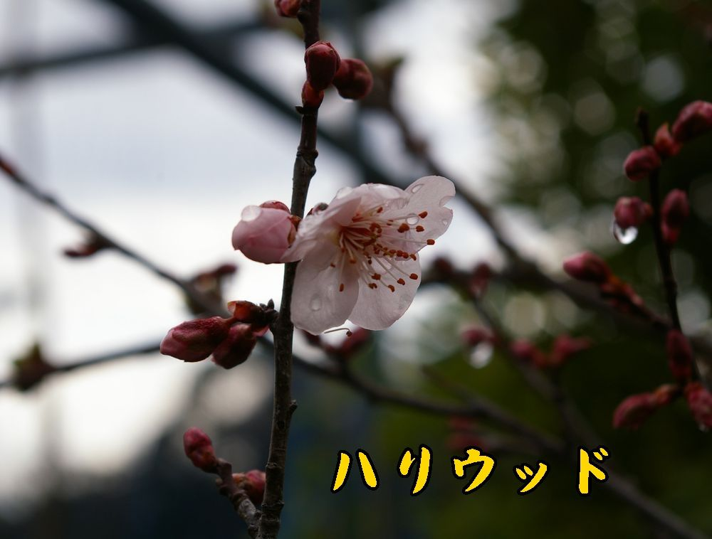 1hariwood0303c1.jpg