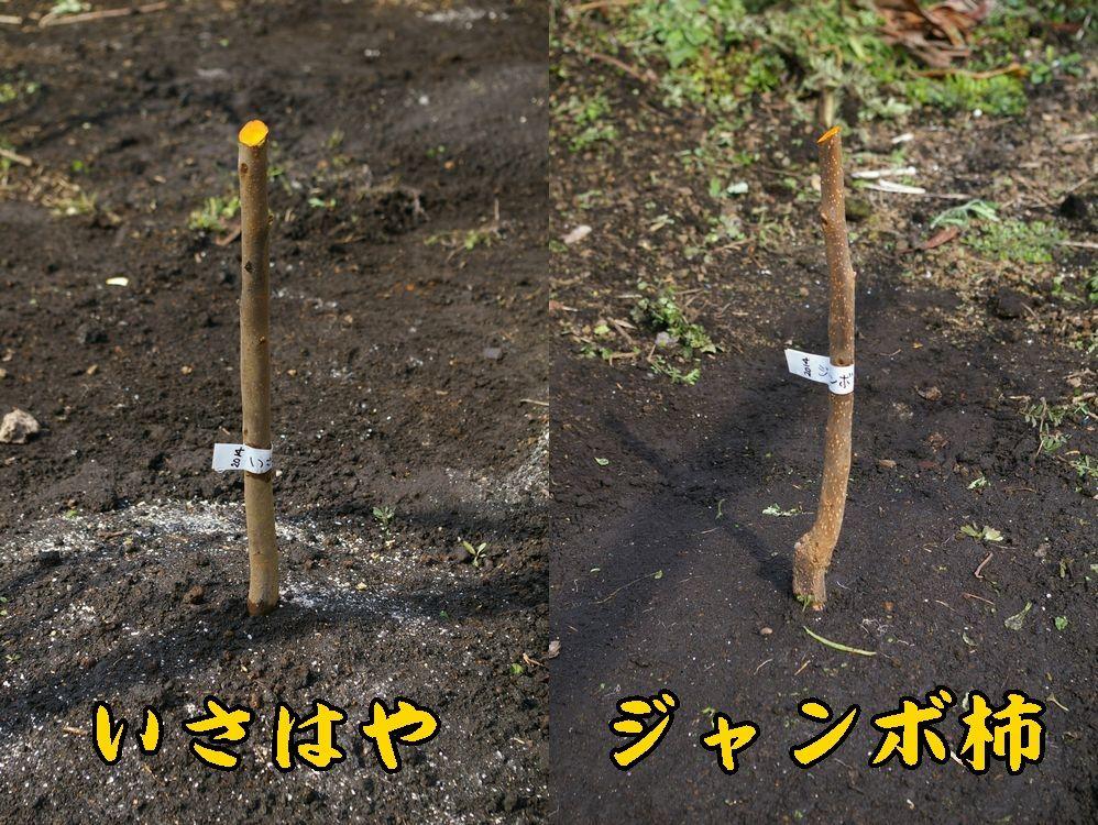 1isa_Jkaki0309c1.jpg