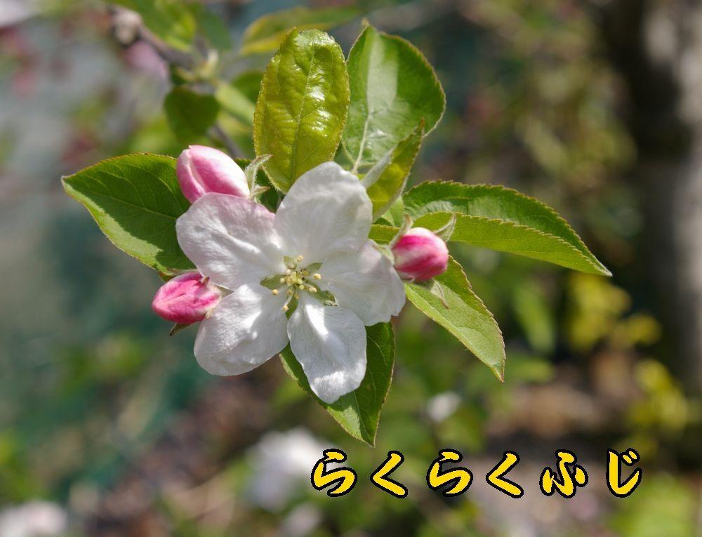 1rakufuji0411c1.jpg