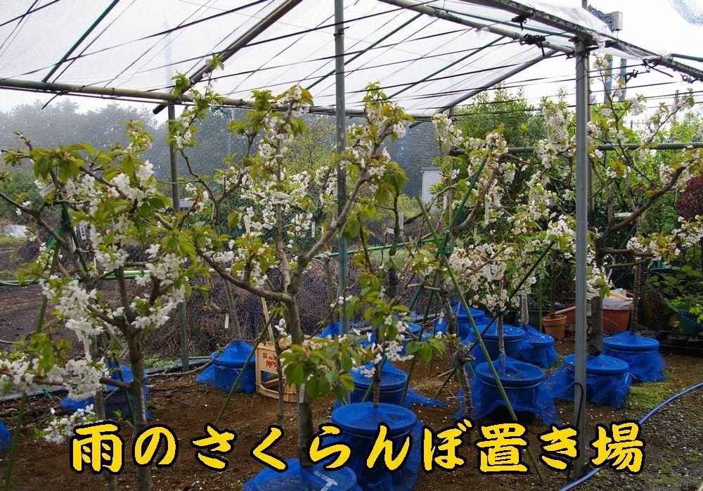 1sakura0421c1.jpg