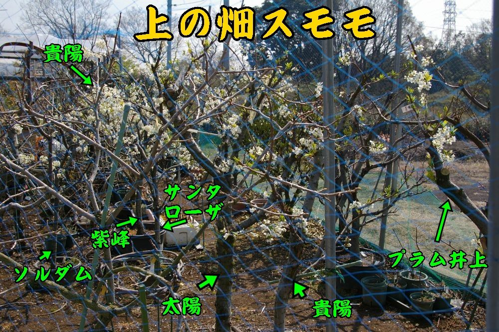 1sumomo0328c1.jpg