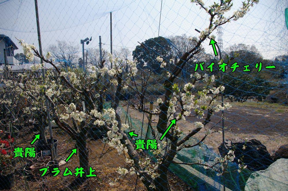 1sumomo0328c2.jpg
