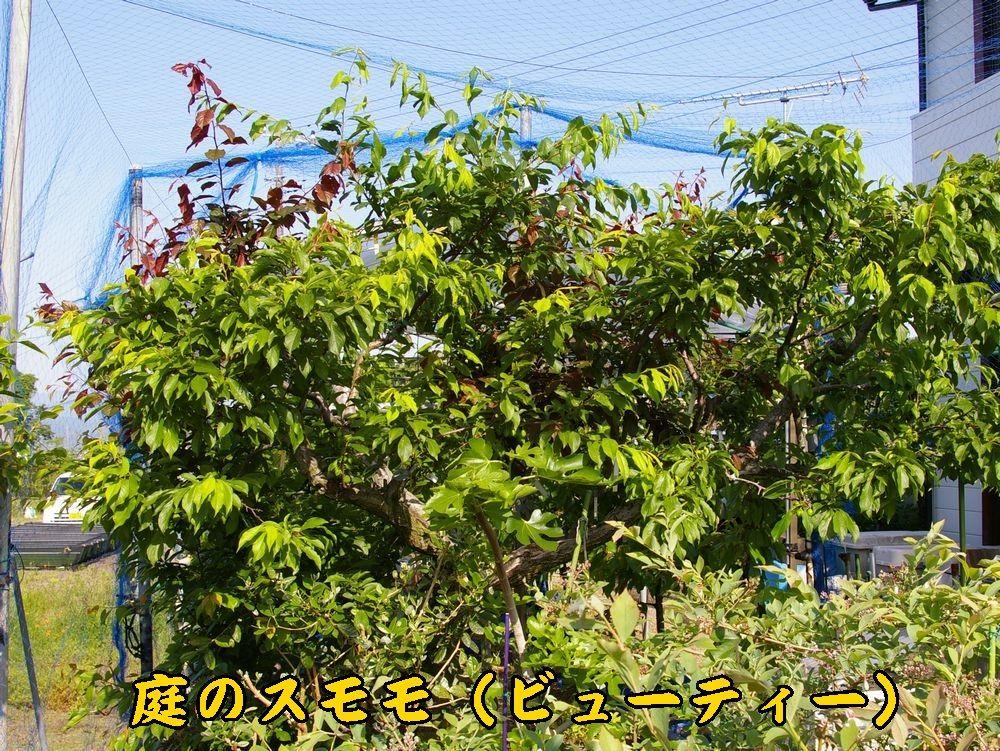 1sumomo0510c1.jpg