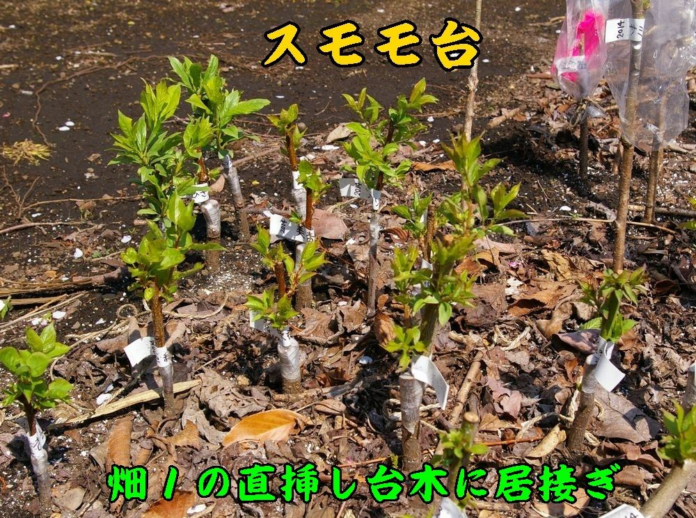 1sumomodai0404c1.jpg