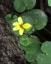 植物2、キバナノコマノツメ