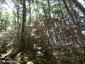 大日小屋~大日岩4、シャクナゲ