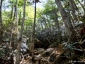 大日小屋~大日岩5、シャクナゲ