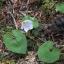 大日岩~砂払いノ頭、ミヤマカタバミ
