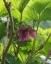 ベニバナイチゴ(ムーミン谷)