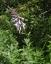 オオバギボウシ、山頂で