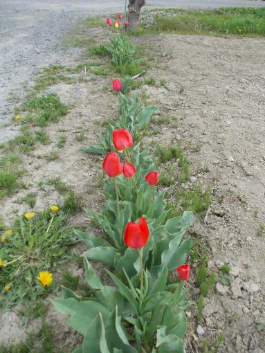 20140521_red tulip