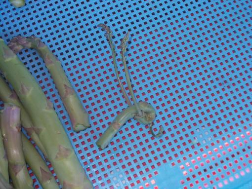 20140601_昆虫アスパラ