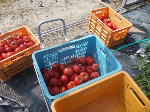 20140626_ジュース用トマト収穫