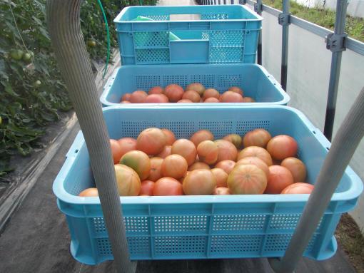 20140703_高糖度トマト収穫中