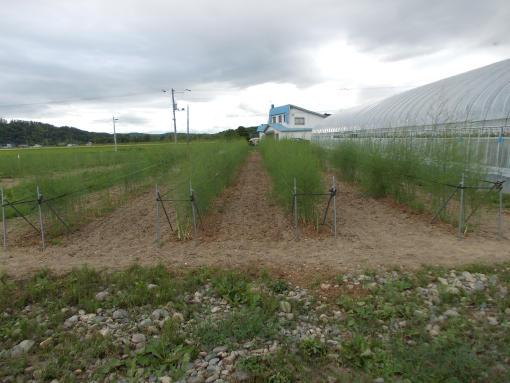 20140712_4年目アスパラ畑