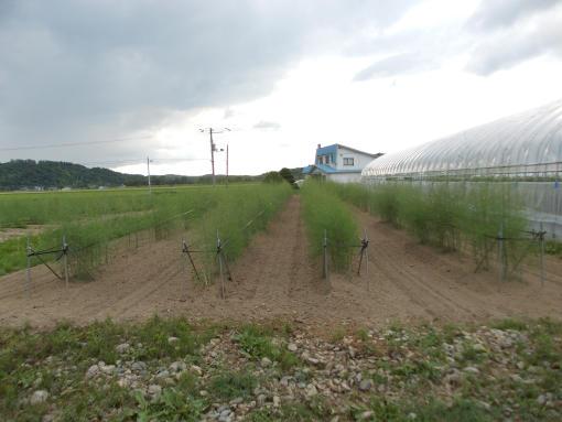20140713_南露地アスパラ畑1