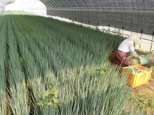 20140714_青ネギ収穫開始