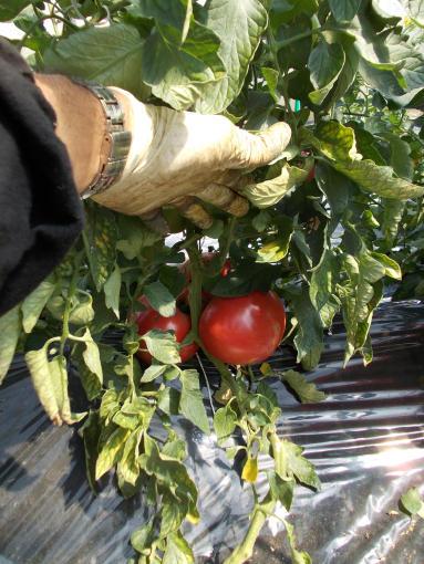 20140721_ジュース向け完熟トマト
